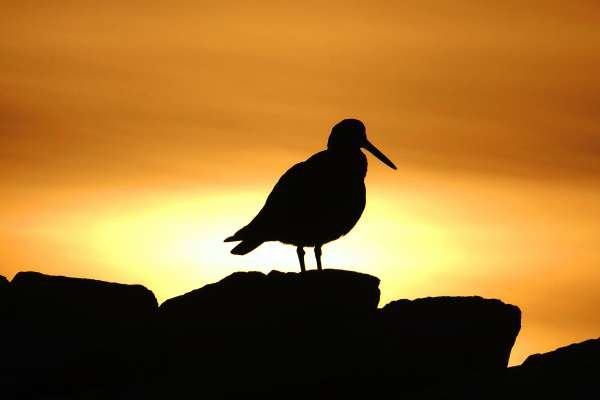 nff oystercatcher at dawn