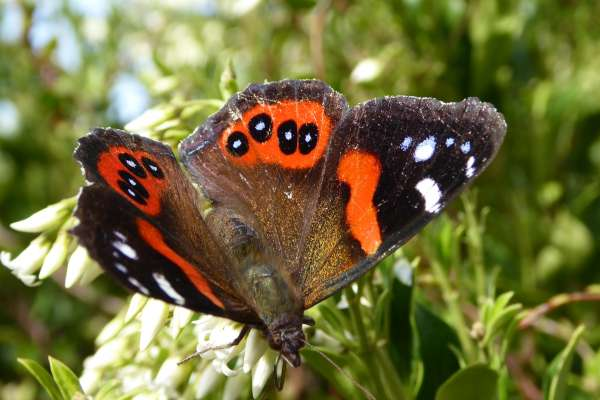 nff red admiral